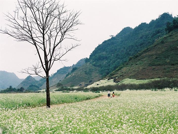 Du lịch Mộc Châu - Mùa cải trắng